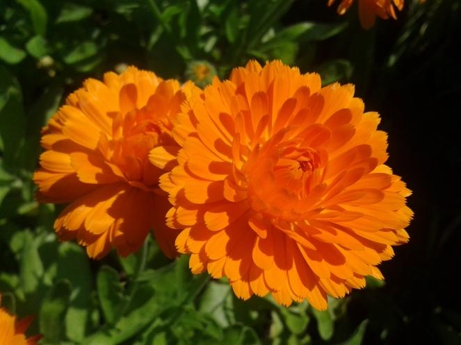 Ringelblumen Calendula officinalis