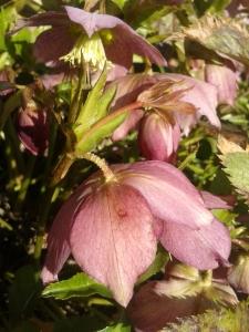 Schneerose rosa