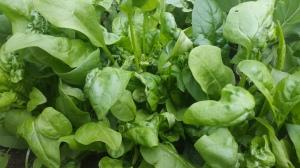 Junger Spinat im Garten, Blattspinat
